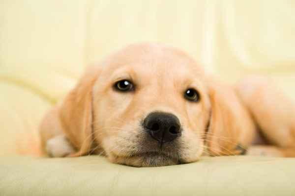 Carta da parati Cucciolo di Cane