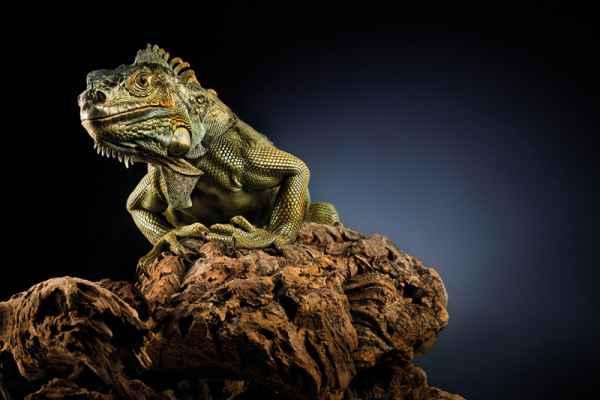 Carta da parati Iguana Drago