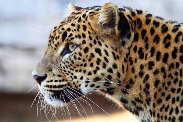 Carta da parati Leopardo