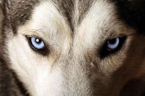 Carta da parati Occhi di Husky