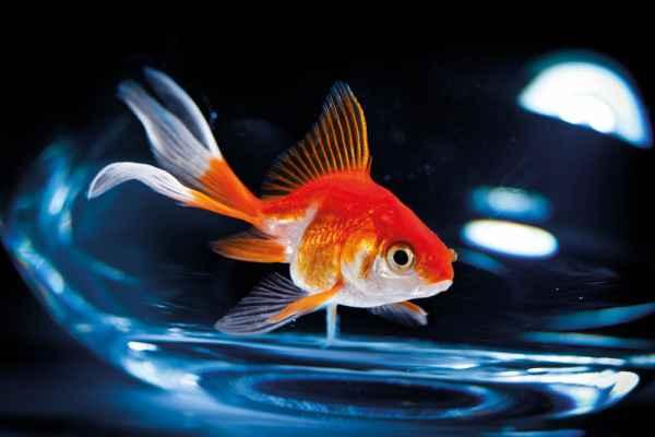 Carta da parati Pesce Rosso