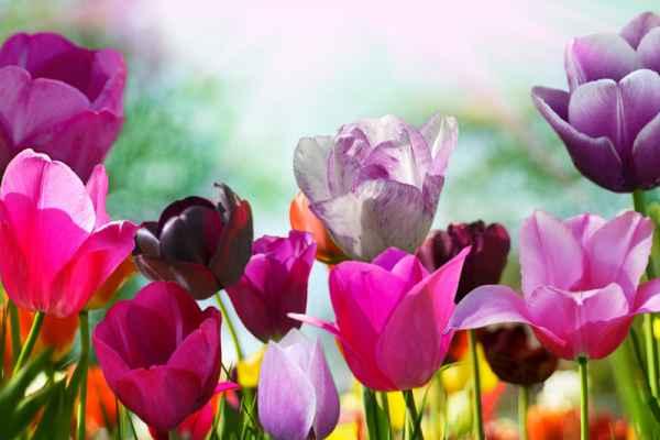 Carta da parati Campo Tulipani