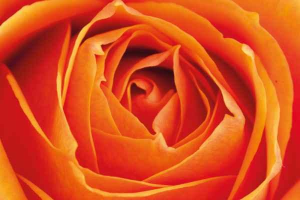 Carta da parati Rosa Macro Arancio