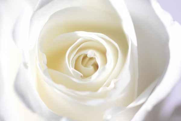 Carta da parati Rosa Macro Bianca