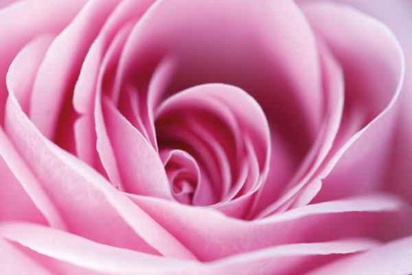 Carta da parati Rosa Macro Rosa