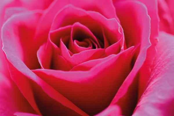 Carta da parati Rosa Macro Rossa