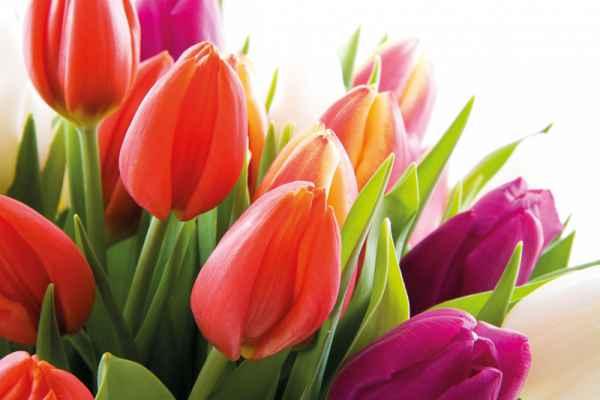 Carta da parati Tulipani 2