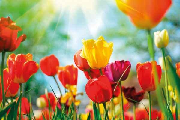 Carta da parati Tulipani 3