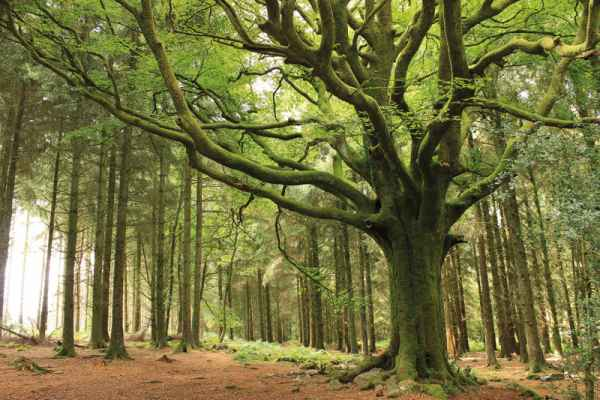 Carta da parati Foresta Europea