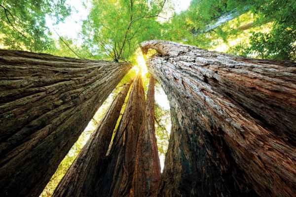 Carta da parati Sequoie