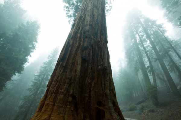 Carta da parati Sequoya