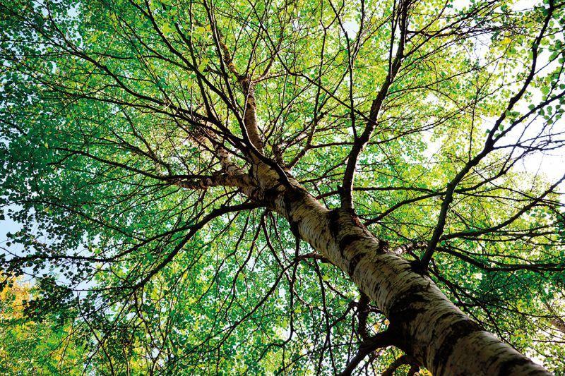 chioma albero