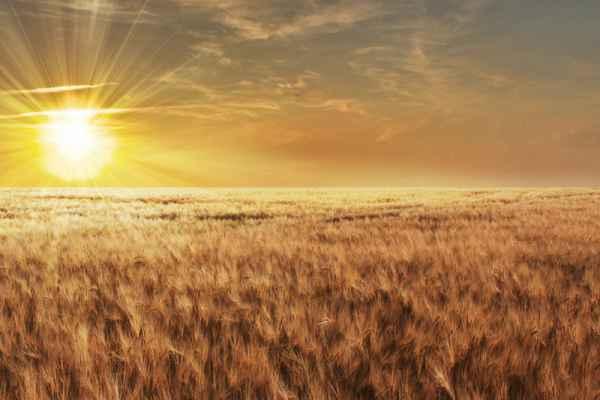Carta da parati Tramonto sul grano