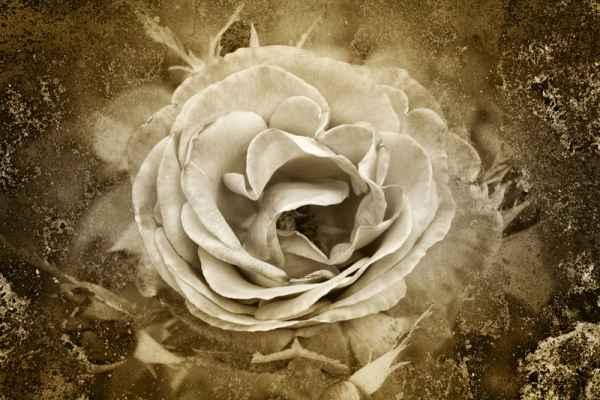 Carta da parati Rosa bianca